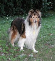 Mahogany Sable Rough Collie