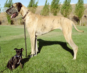 This Chihuahua mix and Great Dane show some of the tremendous variety of dog breeds.