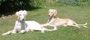 A pair of Saluki puppies