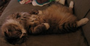 A longhaired Scottish Fold laying on his back.