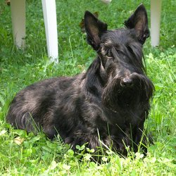 A black Scottish Terrier