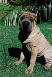 The same Shar Pei as a puppy. Note the greater amount of wrinkles.