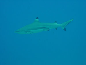 A Blacktip Reef Shark in French polynesia