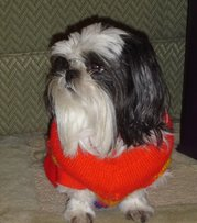 This Shih Tzu is prepared for cold weather with a longer haircut and wearing a dog coat.