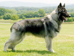 Plush-coated Shiloh Shepherd Dog