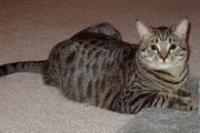 Typical domestic shorthaired cat. This cat has a black mackerel tabby coat.