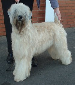 Softcoated Wheaten Terrier stacking as if in the show ring
