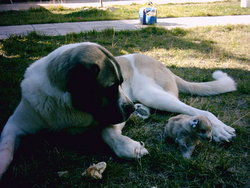 Spanish Mastiff and puppy