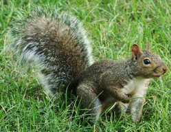 A common gray squirrel.