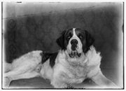 Scipio, a St. Bernard dog belonging to Orville Wright