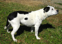 Black and white pied Staffie