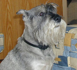 Standard Schnauzer with salt-and-pepper coat
