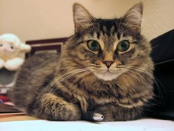 Brown mackerel tabby domestic longhair