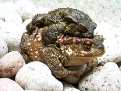 common toad couple (bufo bufo) during migration