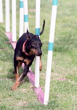 A Toy Manchester Terrier competing in dog agility.