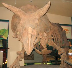 Triceratops head from the front