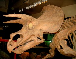 Triceratops head from the side