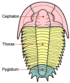 The trilobite body is divided into three major sections, a cephalon with eyes, mouthparts and sensory organs such as antennae, a thorax of multiple similar segments (that in some species allowed enrollment), and a pygidium, or tail section. © Sam Gon III