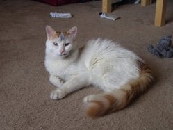 Immature male red tabby Turkish Van (after a romp in the fireplace)