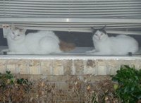 Black and White Turkish Van female (right) and Red Tabby and White Turkish Van male (left) in a window