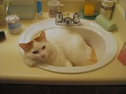 Male red tabby Turkish Van sleeping in a sink