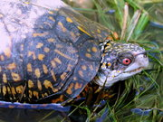 Gulf Coast Box Turtle, Terrapene carolina major (Emydidae)