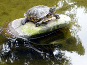 A slider of genus Trachemys
