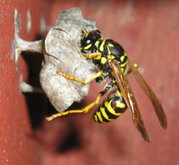 Polistes wasp building nest in California