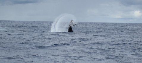 Humpback whale tail flip off coast of Moloka'i, Hawaii, 2005