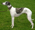 White whippet with brindle saddle and head