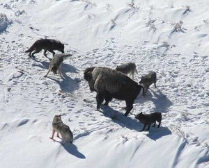 A wolf pack baiting an American Bison.
