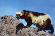 A wolverine standing on a rock.