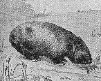 Line drawing of a Wombat from a 1911 encyclopedia
