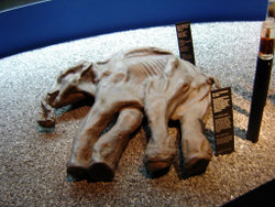 Preserved baby mammoth remains in Lucerne,Switzerland