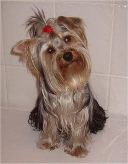 Adult Yorkshire Terrier.